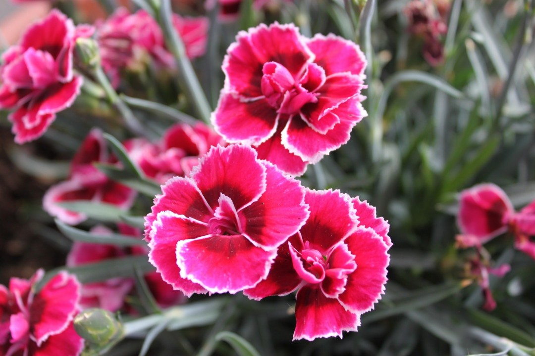 dianthus are beautiful flowers that are perfect for almost any gardening situation due to their numerous types to choose from most have a fragrant